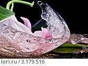Цветок лилии и лед. Стоковое фото, фотограф Анастасия Егоньян / Фотобанк Лори