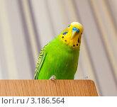 Купить «Портрет зелёного  волнистого  попугая», эксклюзивное фото № 3186564, снято 25 января 2012 г. (c) Игорь Низов / Фотобанк Лори
