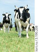 Купить «Черно-белые коровы на природе», фото № 3190208, снято 16 июня 2019 г. (c) Дмитрий Калиновский / Фотобанк Лори