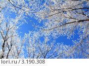 Купить «Деревья в инее на фоне неба», фото № 3190308, снято 3 января 2012 г. (c) Михаил Коханчиков / Фотобанк Лори