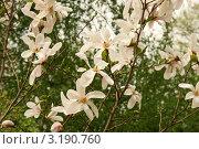 Купить «Магнолия звёздчатая (лат. Magnolia stellata). Цветущее растение», эксклюзивное фото № 3190760, снято 8 мая 2011 г. (c) Щеголева Ольга / Фотобанк Лори