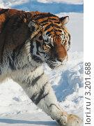 Амурский тигр на прогулке. Стоковое фото, фотограф Юрий Васильев / Фотобанк Лори