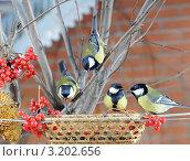Купить «Четыре больших синицы у кормушки.The Great Tit (Parus major).», фото № 3202656, снято 28 января 2012 г. (c) Федор Королевский / Фотобанк Лори