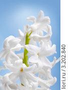 Белый цветок гиацинта на нежно голубом фоне. Стоковое фото, фотограф ElenArt / Фотобанк Лори