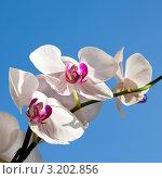Купить «Цветок Орхидея, phalaenopsis», фото № 3202856, снято 12 августа 2010 г. (c) ElenArt / Фотобанк Лори