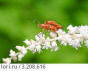 Купить «Жуки мягкотелки рыжие (Rhagonycha fulva) на астильбе (Astilbe)», эксклюзивное фото № 3208616, снято 8 июля 2010 г. (c) Алёшина Оксана / Фотобанк Лори