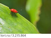 Купить «Лилейная трещалка (Lilioceris lilii)», эксклюзивное фото № 3215864, снято 8 июля 2010 г. (c) Алёшина Оксана / Фотобанк Лори