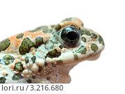 Купить «Портрет жабы», фото № 3216680, снято 30 июля 2011 г. (c) Михаил Коханчиков / Фотобанк Лори