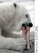 Купить «Белый медведь ест мясо», фото № 3217292, снято 3 февраля 2009 г. (c) Татьяна Белова / Фотобанк Лори