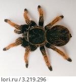 Мексиканский красноколенный паук-птицеед. Стоковое фото, фотограф Артем Свистун / Фотобанк Лори