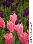 Клумба с розовыми тюльпанами на переднем плане. Стоковое фото, фотограф Сергей Павлов / Фотобанк Лори