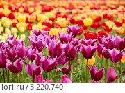 Необычные фиолетовые тюльпаны. Стоковое фото, фотограф Сергей Павлов / Фотобанк Лори