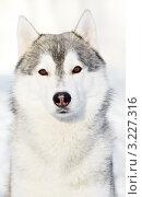 Купить «Портрет сибирского хаски зимой», фото № 3227316, снято 18 августа 2018 г. (c) Дмитрий Калиновский / Фотобанк Лори