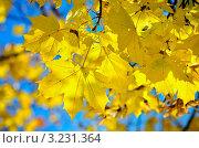 Желтые кленовые листья. Стоковое фото, фотограф Olsi / Фотобанк Лори