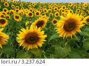 Поле подсолнухов. Стоковое фото, фотограф Aleksandrs Jemeļjanovs / Фотобанк Лори