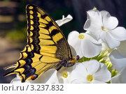 Махаон обыкновенный (Papilio machaon) Стоковое фото, фотограф Игорь Митов / Фотобанк Лори
