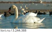 Купить «Лебеди плавают в озере», видеоролик № 3244388, снято 11 февраля 2012 г. (c) Владимир Никулин / Фотобанк Лори