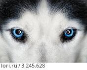Голубые глаза хаски. Стоковое фото, фотограф Сергей Илясов / Фотобанк Лори