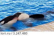 Поцелуй китов. Стоковое фото, фотограф Олеся Довженко / Фотобанк Лори