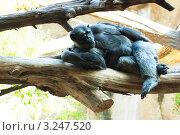 Обезьяна лежит на стволе дерева. Стоковое фото, фотограф Олеся Довженко / Фотобанк Лори