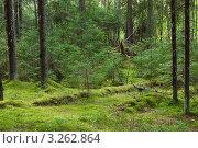 Купить «Таинственный хвойный лес», фото № 3262864, снято 30 июля 2005 г. (c) Дмитрий Наумов / Фотобанк Лори
