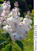 Купить «Бело -розовая сортовая, махровая сирень. Syringa», эксклюзивное фото № 3263712, снято 22 мая 2011 г. (c) Svet / Фотобанк Лори