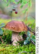 Белый гриб. Стоковое фото, фотограф Olsi / Фотобанк Лори
