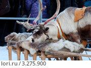 Северный олень. Стоковое фото, фотограф Андрей Радченко / Фотобанк Лори