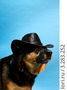 Купить «Овчарка», фото № 3283252, снято 28 января 2012 г. (c) Тихомирова Ольга / Фотобанк Лори