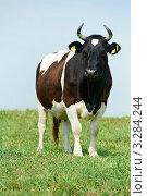 Купить «Черно-белая корова на лугу», фото № 3284244, снято 21 июля 2019 г. (c) Дмитрий Калиновский / Фотобанк Лори