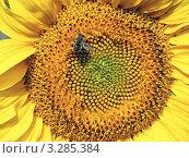 Пчела собирает пыльцу с подсолнуха. Стоковое фото, фотограф Петрова Инна / Фотобанк Лори