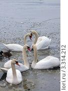 Купить «Две пары лебедей и один одинокий», фото № 3314212, снято 21 января 2012 г. (c) Андрей Рыбачук / Фотобанк Лори
