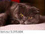 Британский вислоухий серый кот. Стоковое фото, фотограф Ирина Уйбапу / Фотобанк Лори