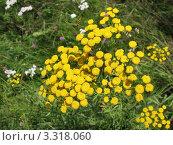 Купить «Пижма или калуфер (Tanacetum), семейство Сложноцветные», фото № 3318060, снято 18 июля 2011 г. (c) Заноза-Ру / Фотобанк Лори