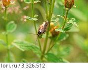 Купить «Лесной таракан (Ectobius sylvestris). Самец», эксклюзивное фото № 3326512, снято 5 июля 2010 г. (c) Алёшина Оксана / Фотобанк Лори