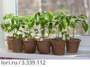 Купить «Рассада томатов», фото № 3339112, снято 27 апреля 2011 г. (c) Виктория / Фотобанк Лори