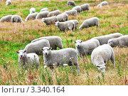 Стадо овец в поле. Стоковое фото, фотограф Ольга Хорошунова / Фотобанк Лори