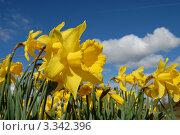 Желтый крупный нарцисс на переднем плане и синее небо. Стоковое фото, фотограф Татьяна Кахилл / Фотобанк Лори