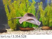 Купить «Скат плывет в аквариуме», фото № 3354528, снято 17 января 2011 г. (c) Анна Мартынова / Фотобанк Лори