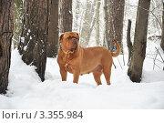 Собака в лесу. Стоковое фото, фотограф Агибалова Кристина / Фотобанк Лори