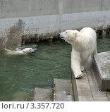 Два белых медведя. Стоковое фото, фотограф Александр Тараканов / Фотобанк Лори