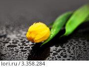 Купить «Желтый тюльпан с каплями воды», фото № 3358284, снято 6 марта 2012 г. (c) ElenArt / Фотобанк Лори