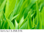 Купить «Зелёные листья ириса», фото № 3358516, снято 12 мая 2011 г. (c) Sea Wave / Фотобанк Лори