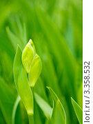 Купить «Листва и бутоны ириса», фото № 3358532, снято 12 мая 2011 г. (c) Sea Wave / Фотобанк Лори