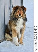 Купить «Собака сидит на снегу и хитро смотрит», эксклюзивное фото № 3361416, снято 1 марта 2012 г. (c) Елена Коромыслова / Фотобанк Лори