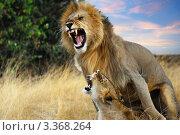 Купить «Лев и львица в кульминационный момент спаривания. Масаи Мара, Кения», фото № 3368264, снято 20 августа 2010 г. (c) Знаменский Олег / Фотобанк Лори
