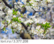 Весенние цветы яблони на фоне синего неба. Стоковое фото, фотограф Павел Воробьёв / Фотобанк Лори