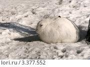 Заяц-беляк на снегу (Lepus timidus) Стоковое фото, фотограф Щеголева Ольга / Фотобанк Лори