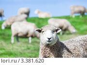 Купить «Овцы на пастбище», фото № 3381620, снято 24 февраля 2012 г. (c) Ольга Хорошунова / Фотобанк Лори