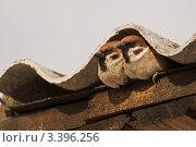 Два воробья под шиферной крышей. Стоковое фото, фотограф Екатерина Жукова / Фотобанк Лори